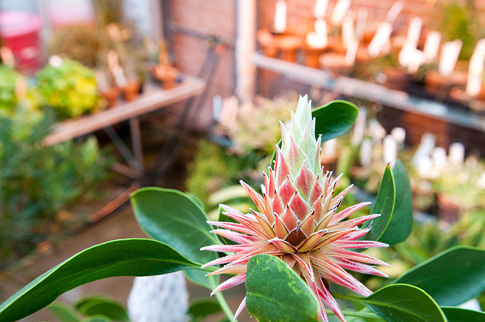 <p>Despite cold, wintery conditions outside, plants, like this king protea, flourish in the Ecology and Evolutionary Biology greenhouse. Photo by Frank Dahlmeyer</p>