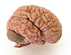 <p>The human brain. Stock photo</p>