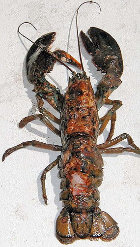 <p>Lobster showing characteristics of shell disease. Photo courtesy of Rhode Island Sea Grant</p>