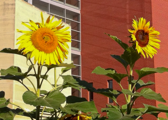 hybridization and the evolution ecology of sunflowers
