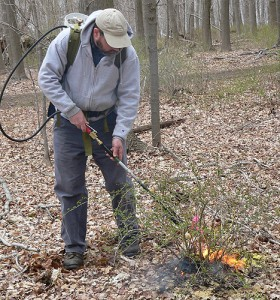 Jeffrey Ward of the Connecticut Agricultural Experiement Station demonstrates the use of a propane torch to control Barberry. (Photo courtesy of Jeffrey Ward)