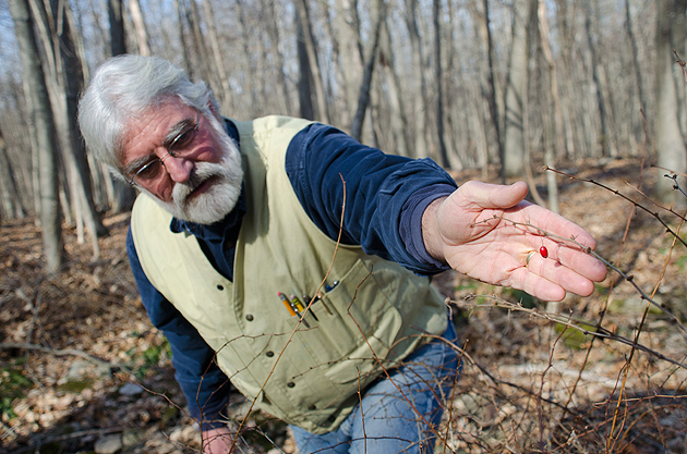 Tom Worthley, assistant extension professor in the department of extension in the College of Agriculture and Natural Resources,reaches for a berry on Japanese Barberry bush in the UConn forest near Horsebarn Hill. (Ariel Dowski/UConn Photo)
