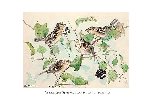 Grasshopper Sparrow (Ammodramus savannacum) by Rex Brasher.