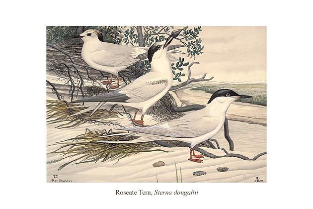 Reseate Tern (Sterna dougallii) by Rex Brasher.