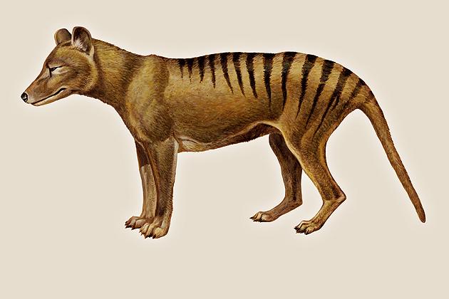 Tasmanian Tiger (Encyclopedia Britannica Inc.)