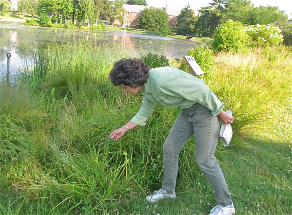 Donna Ellis checks the progress being made by the Galerucella beetle in the control of purple loosestrife near Mirror Lake. (Sheila Foran/UConn Photo)