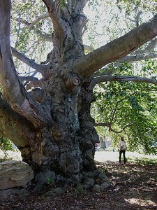 This European Copper Beech on the UConn campus has a trunk measuring over 20 feet in diameter that looks like a giant elephant leg. It is located on the west side of the Monteith building. (Suzanne Zack/UConn Photo)