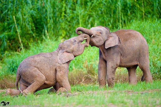 Two of the remaining 2000 pygmy elephants on the island of Borneo. (Photo: Benoit Goossens)