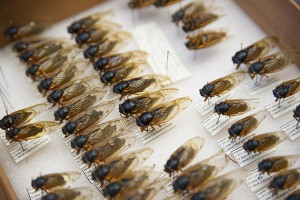 Some cicadas in the extensive collection of carefully preserved insects held by the Department of Ecology and Evolutionary Biology. (Sean Flynn/UConn Photo)