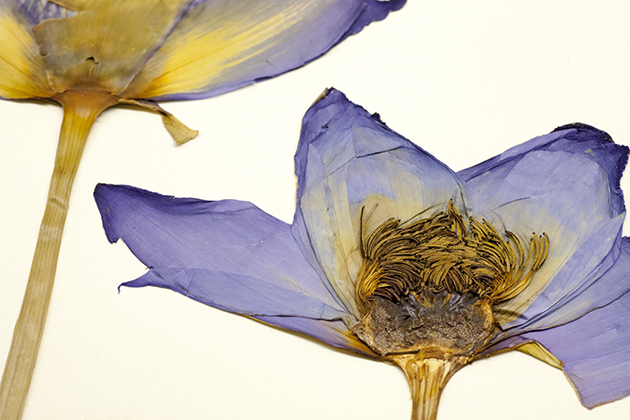 Nymphaea, a specimen from the ecology and evolutionary biology plant collection. (Sean Flynn/UConn Photo)