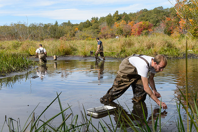Stephen McKay '14 (CLAS), right, collects samples during a limnology class led by Mark Urban at the Fenton River swamp on Oct. 3, 2013. (Peter Morenus/UConn Photo)