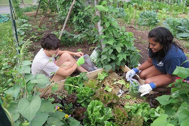 Kellie O'Keefe, left, fourth-year student at the UConn School of Dental Medicine, and Caroline Rogi, third-year student at the UConn School of Medicine, work in the Burgdorf Community Garden. (Bruce Gould/UConn Health Photo)