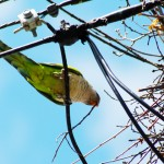 Beating Monk Parakeets at Their Own Game
