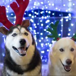 Happy Holidays from All UConn Huskies at Heart