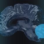 How the brain controls speech. (Christa Tubach/UConn Image)