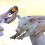 A young pig about to receive an injection. (iStock Photo)