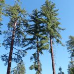 Sugar Pines (Pinus lambertiana) in Sequoia National Park, California. UConn researchers are part of a team that has sequenced the Sugar Pine's enormous genome, offering the potential for using genetic resistance to fight an invasive fungus that threatens to destroy the species. (Silversypher via Wikimedia Commons)