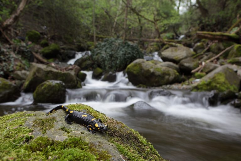 Fire salamander by a mountain stream