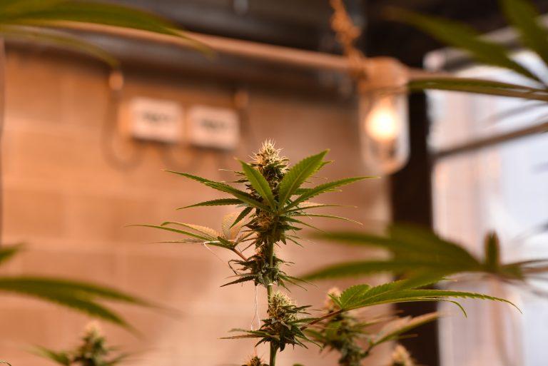 Flowering cannabis in greenhouse