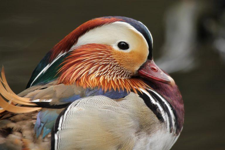 Close up of a Mandarin duck